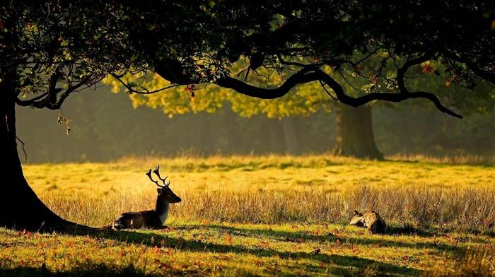 grass, deer, tree, animals, leaves, deer, nature, horns