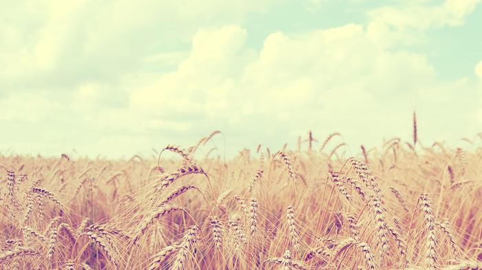 landscape, field, nature, sky, wheat, clouds