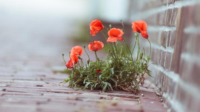 plant, photo, poppies, macro, flowers