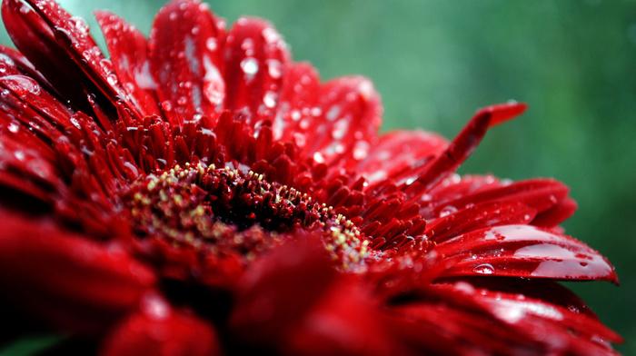 flower, drops, macro