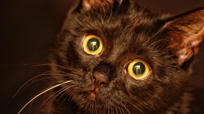 animals, mustache, black, sight, kitten, eyes