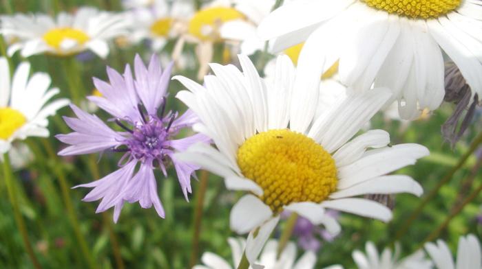 chamomile, summer, flowers
