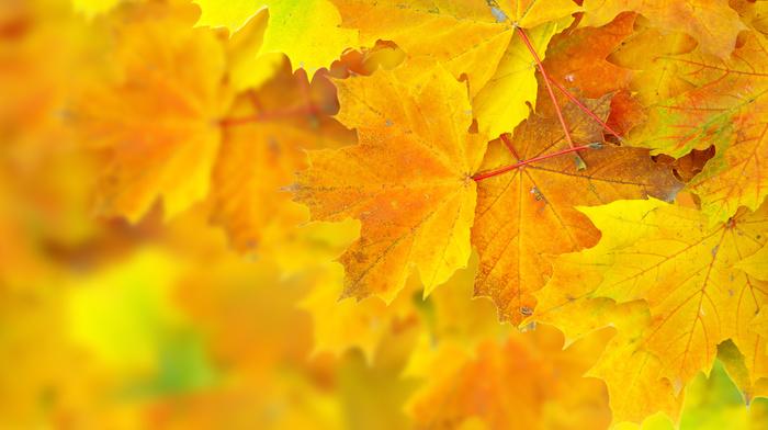 macro, leaves, bokeh, autumn