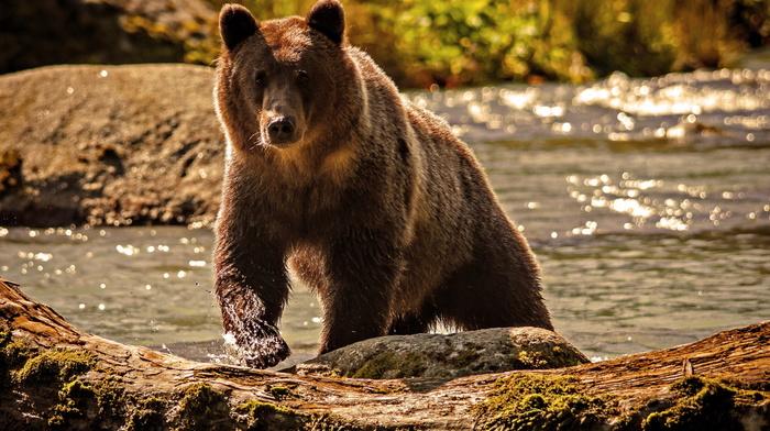 река, вода, медведь, животные, природа