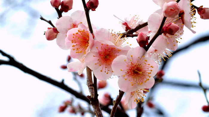 twigs, branch, petals, flowers, tree
