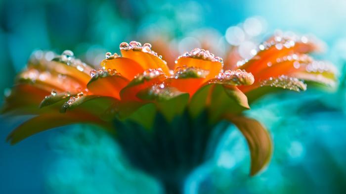 rose, water drops, beautiful girl, stunner
