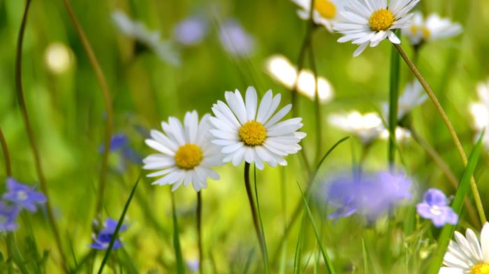 flowers, field, chamomile, grassland, white, summer