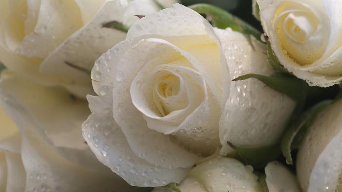 macro, drops, flowers, roses