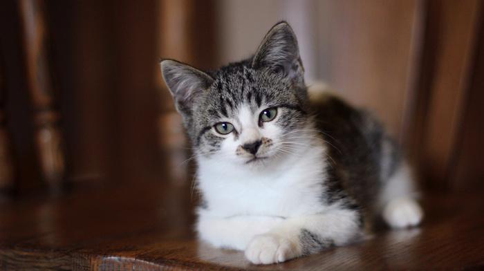 kitten, cat, sight, lies, gray eyes, animals