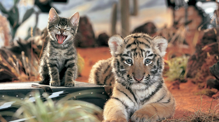cat, kitten, animals, tiger, wallpaper