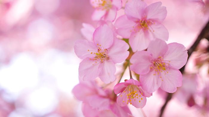petals, flowers, twigs, tree, sakura