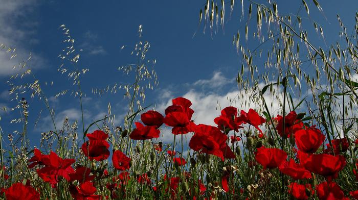 grassland, nature, field, poppies