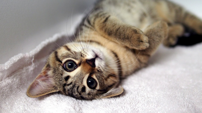 kitten, lies, mustache, animals