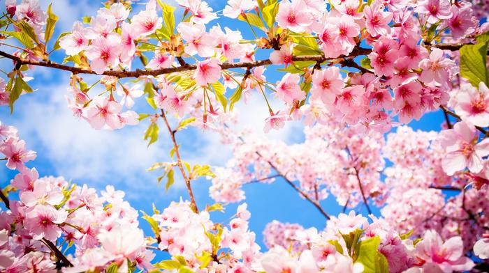 bloom, sakura, stunner, sky, spring, branch, pink