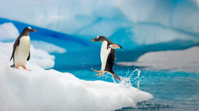 penguins, ice, animals, birds