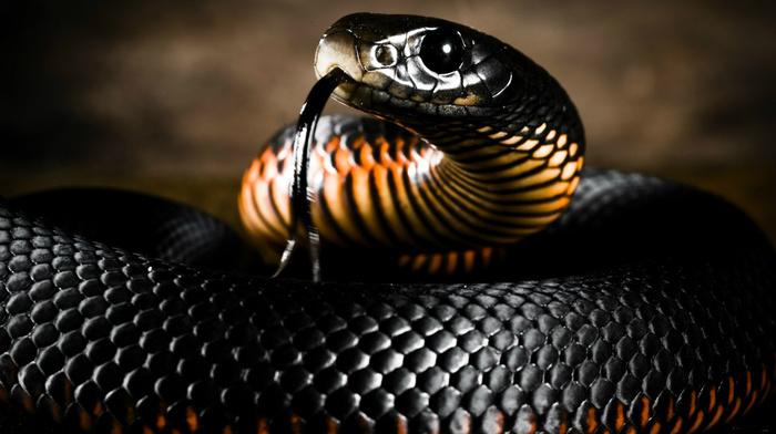 snake, color, animals