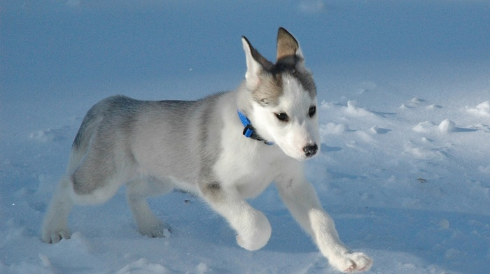 puppy, animals, snow