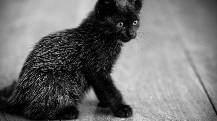 kitten, sit, sight, black, animals