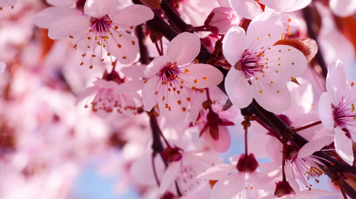 bloom, flowers, cherry, spring, nature