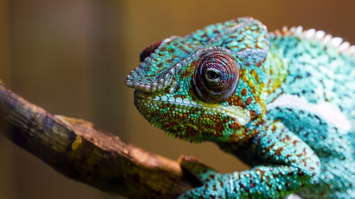 animals, chameleons, colorful