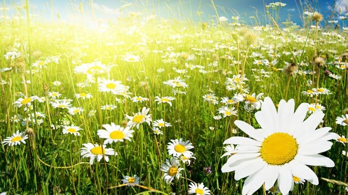 field, chamomile, Sun, flowers, sky