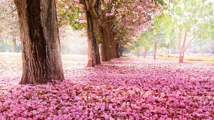 trees, sakura, spring, flowers, nature