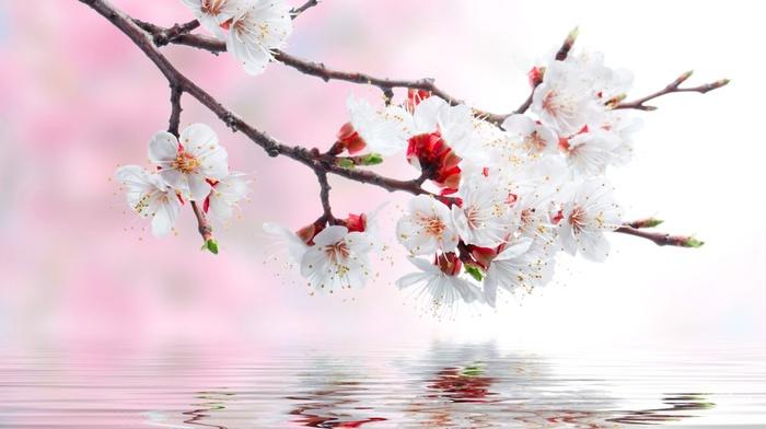 flowers, reflection, water, spring, sakura