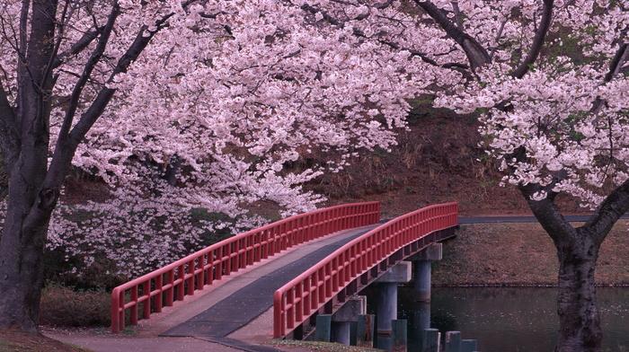 river, sakura, water, bridge, flowers, road, stunner, beauty