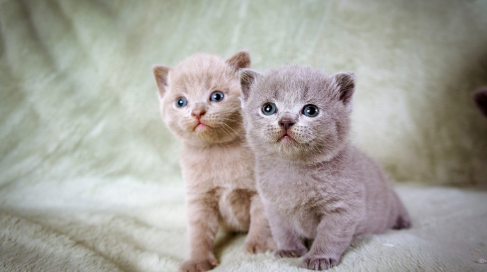 gray, blue eyes, animals, photo, color, kittens, kid