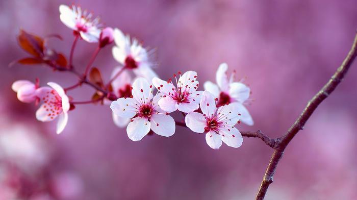 branch, cherry, background, flowers, tree, macro, nature, spring
