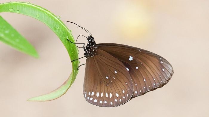 leaf, macro, dew, wings, beautiful, butterfly