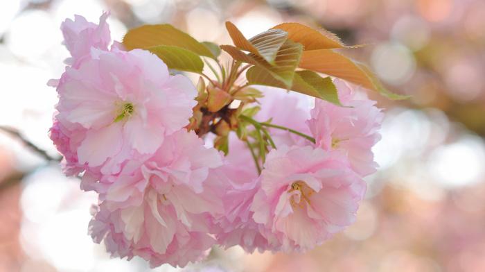 flowers, leaves, macro, branch, sakura
