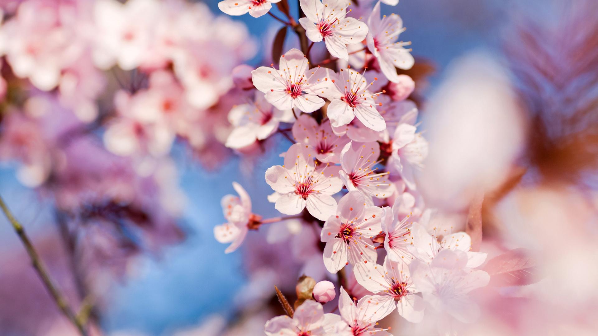 Черешня цветки