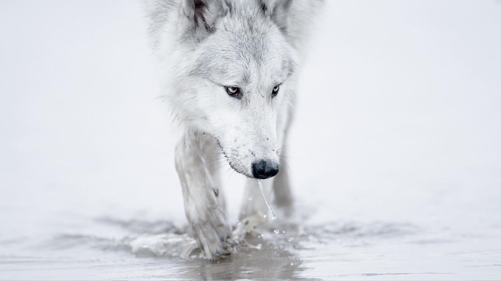 заставки на телефон скачать бесплатно волки