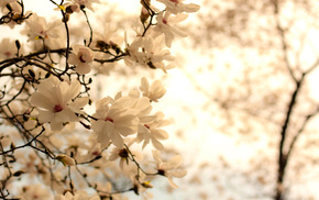 flowers, white, twigs, bloom, background