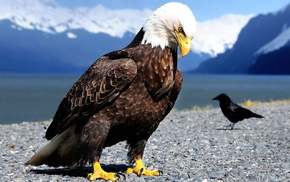 animals, feathers, eagle, birds