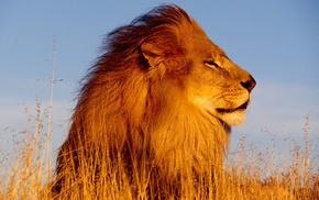 lion, nature, animals