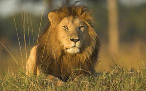 лев, львы, трава, животные, хищники, Дикие кошки