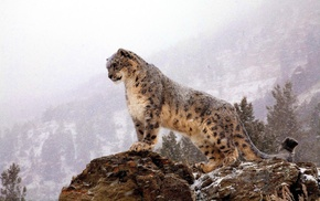 snow leopards, animals