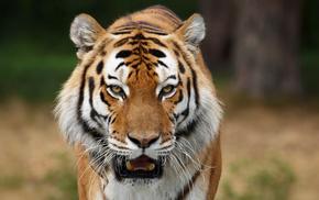 хищники, Дикие кошки, фото животных, обои для рабочего стола, картинки с животными, сибирские тигры