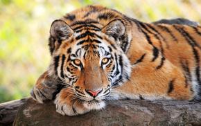 дикие кошки, тигр, смотрит, животные, Молодой