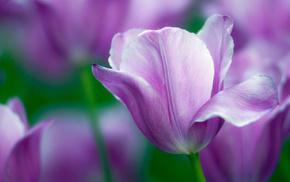 sea, flowers, field, tulips