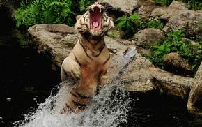 вода, животные, Тигр, брызги, пасть