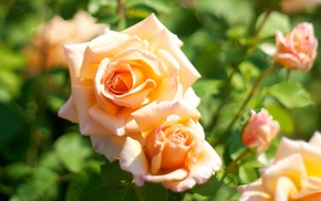 color, motion blur, roses, flowers, macro