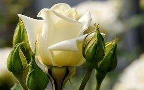 flowers, rose, macro, petals