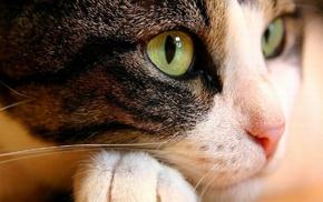 animal, animals, eyes, cat, muzzle