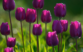 grass, tulips, plants, flower, flowers