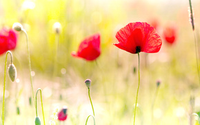 field, macro, light, poppies, photo