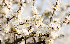 cherry, bloom, flowers