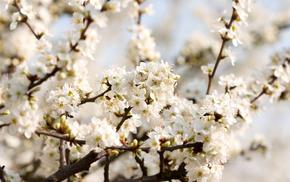 cherry, bloom, flowers